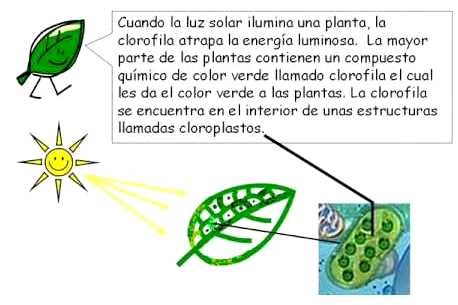 ¿Dónde ocurre la fotosíntesis?