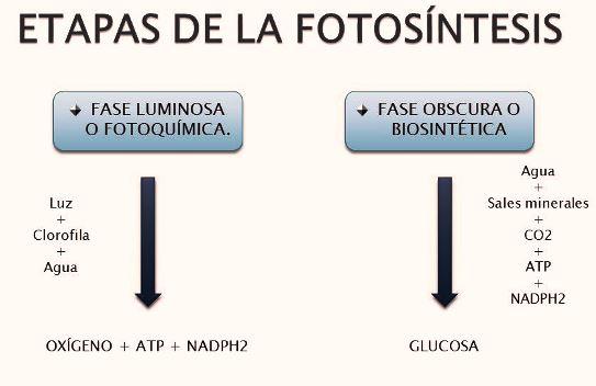 Etapas de la fotosíntesis