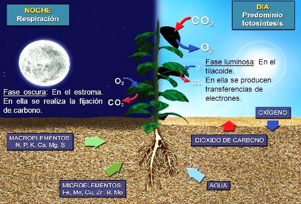 ¿Cuándo hacen fotosíntesis las plantas?