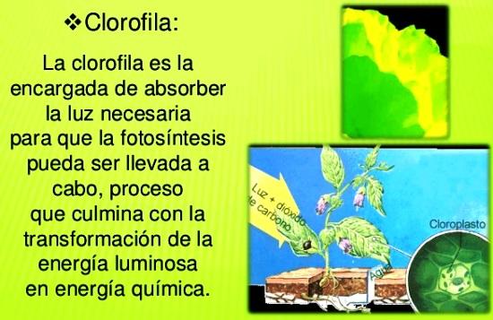 ¿Qué es la clorofila y dónde se ubica? - La fotosíntesis