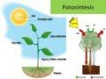 Cuál es la fase luminosa de la fotosíntesis