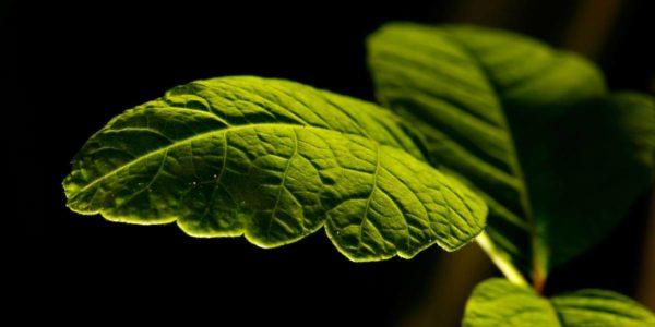 descubre el producto alimenticio de la fotosíntesis en las plantas