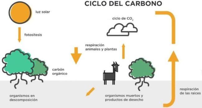 descubre la relación entre la fotosíntesis y el ciclo del carbono